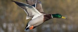 Ducks Unlimited Celebrates 80 Years of True Conservation
