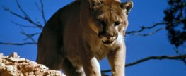 Man vs Wild: Mountain Lion Comes At Armed Deer Hunter